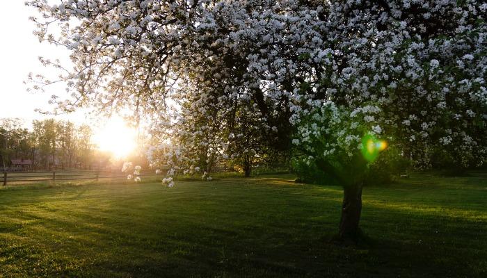 К чему снится цветущее дерево вишня или груша. разберем сон вместе!